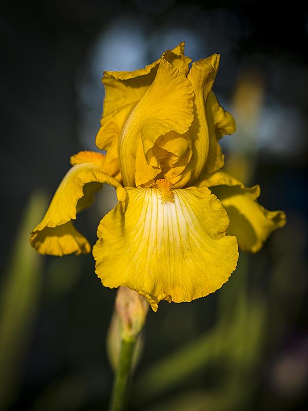 Mes Iris 20120505_8495